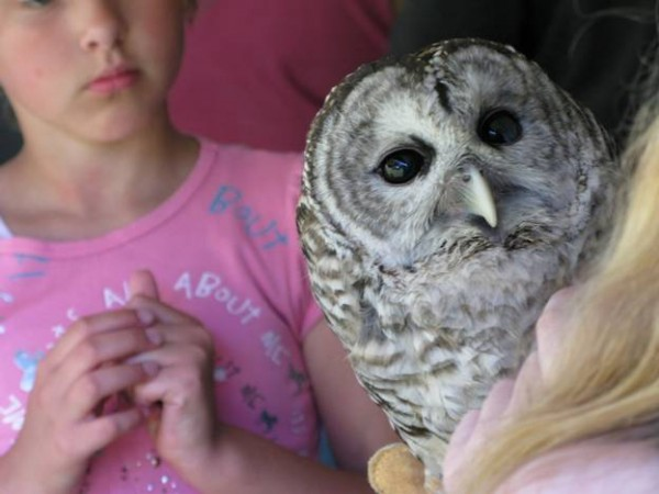 A young visitor at the Aroostook State Park annual birding festival watches a bard owl during a live raptor presentation by the A.E. Howell Wildlife Conservation Center and Spruce Acres Refuge in North Amity.