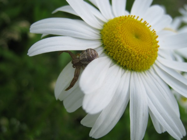 Daisy with spider