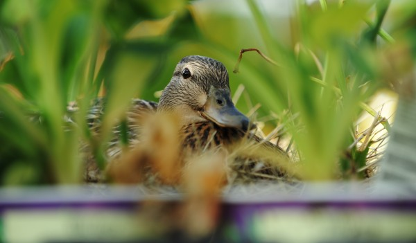 Nestled between the hostas at the Bangor Home Depot, a female mallard duck sits on seven eggs on Tuesday, May 31, 2011 waiting for hatchlings. This is the second year the duck has returned to nest in the store's lawn and garden section.