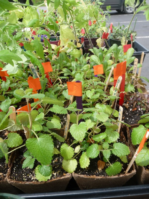 Hundreds of herb, flower and vegetable seedlings were sold Thursday by middle school aged students who have been participating in a Master Gardeners' project at Eastport Elementary School.