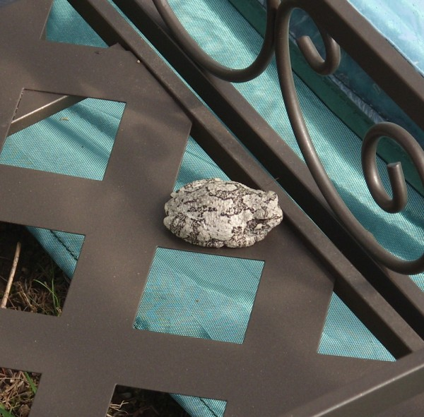A gray tree frog sits on a shelf on the potting bench in the greenhouse recently set up by the author, Janine Pineo.