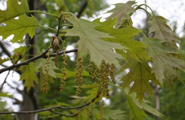 Staminate (pollen-bearing) catkins on the red oak in Marjorie's Garden.