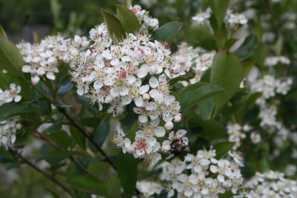 A bumblebee foraging on the flowers of black chokeberry.  From a distance, flowering plants appear frosted with white flowers; on close inspection, clustered pink anthers add a touch of subtle beauty to each small flower.