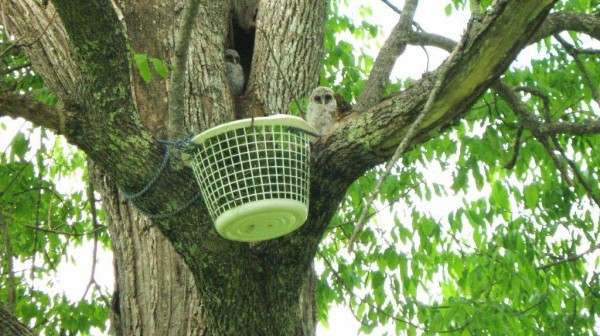 Safety net for baby owls