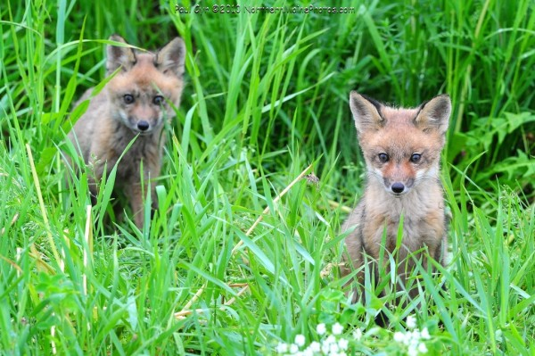 Two kit foxes pause in their busy day to have their picture taken.