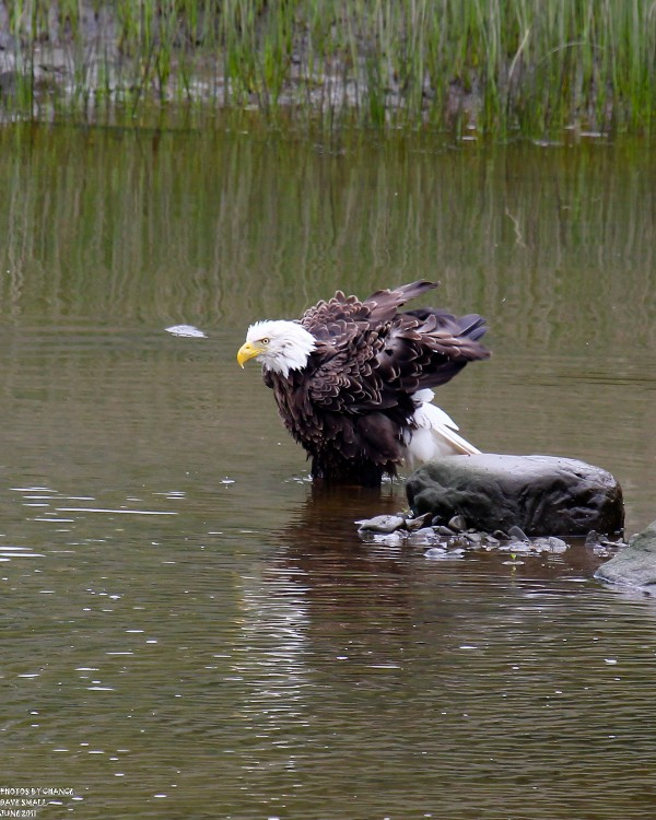 American bald eagle at bath time