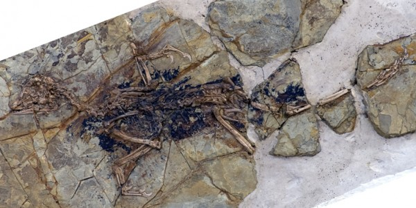 "This undated photo released by Nature shows the fossilized skeleton of what scientists at the Chinese Academy of Sciences in Beijing are dubbing ""Xiaotingia zhengi."" Its discovery helped scientists propose an evolutionary tree that suggests archaeopteryx is not a bird."