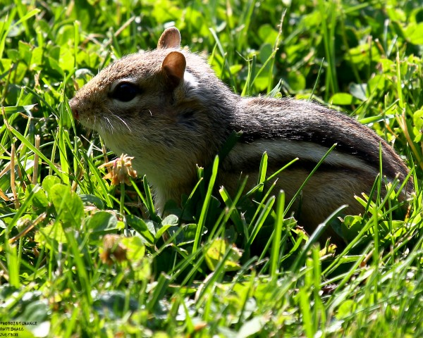 Photographer Dave Small of Old Town clicked off a shot of this chipmunk that was busy gathering food at the Lyle Littlefied Ornamental Garden at the University of Maine in Orono last week.