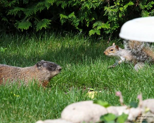 Backyard standoff