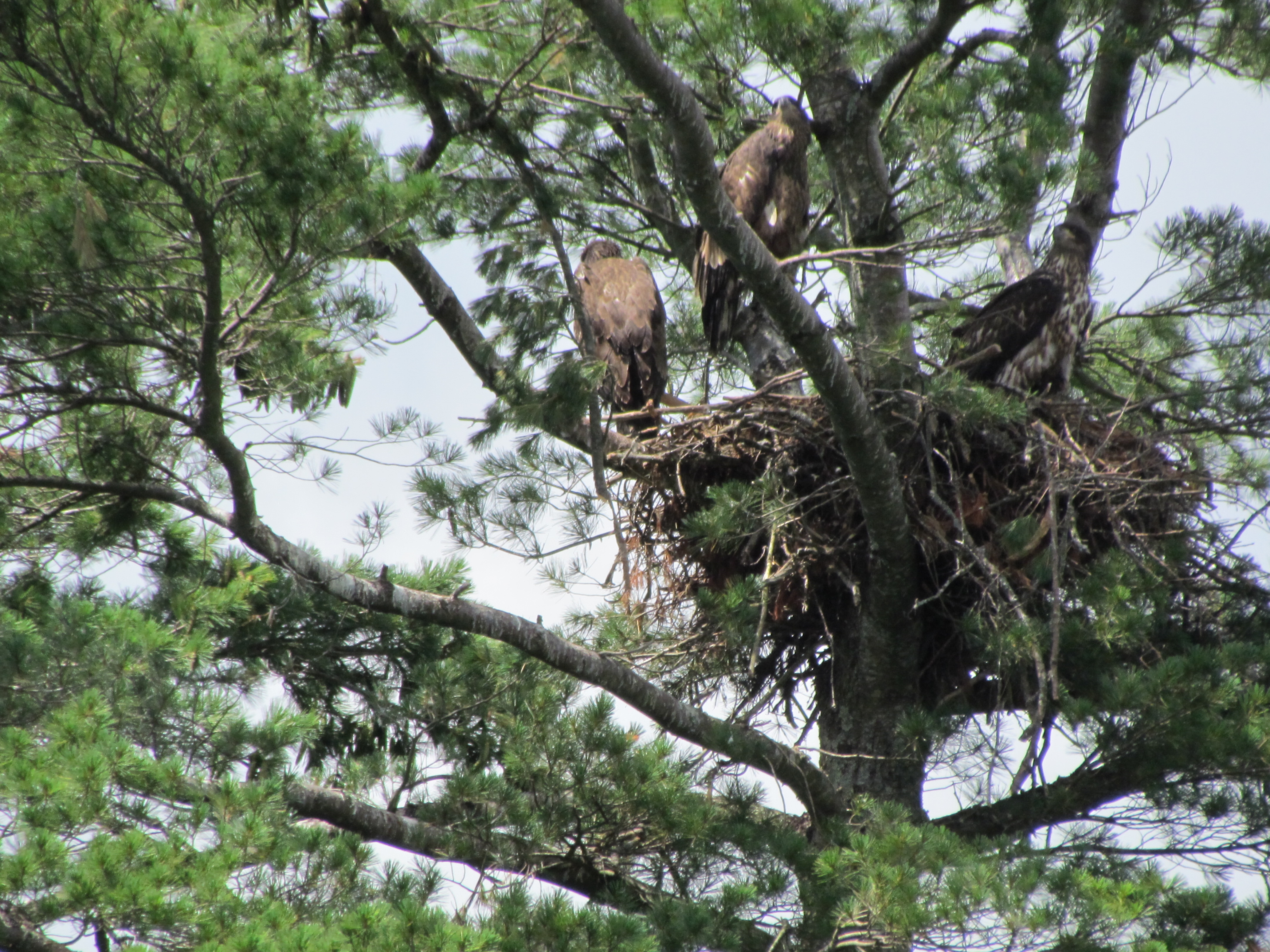The eaglets