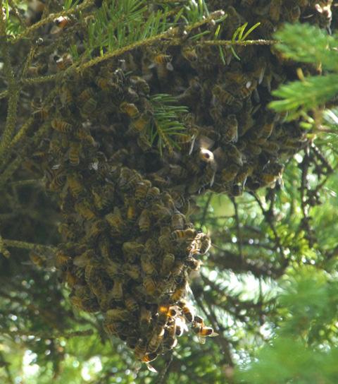 Swarming bees.