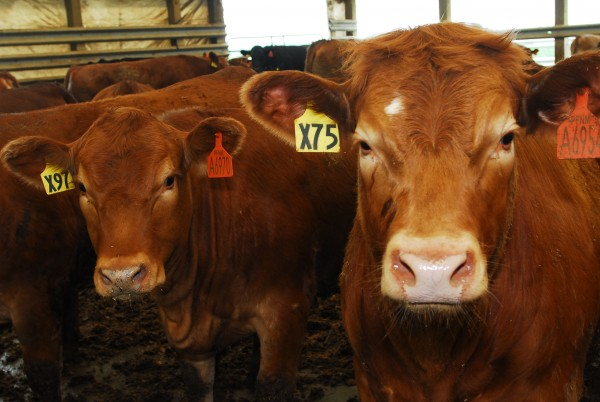 Pineland Farms currently has 2,250 head of cattle at its feedlot in Fort Fairfield, in northern Aroostook County.