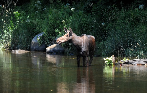 The moose trotted up and down streets and spent some tense minutes in a couple of fully fenced-in yards. Eventually it made its way to the stream and stood in the water for several minutes taking a long drink before wondering off into the woods again.