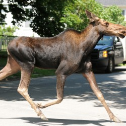 Moose on the loose in Ellsworth