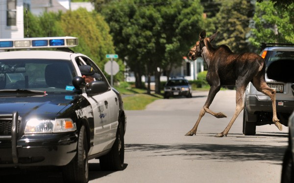 A female moose runs up Grant Street in Bangor Friday afternoon. Bangor police officers were trying to prevent the animal from wandering toward Broadway and cautiously guided it towards the wooded area along the Kenduskeag Stream. The moose trotted up and down streets and spent some tense minutes in a couple of fully fenced-in yards. Eventually it made its way to the stream and stood in the water for a several minutes taking a long drink before wandering off into the woods again.