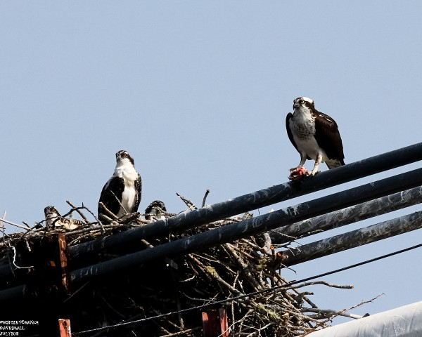 Osprey and young