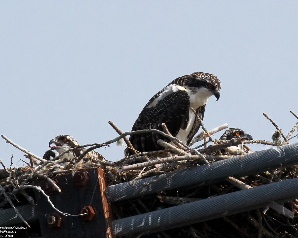 Lunch time for osprey