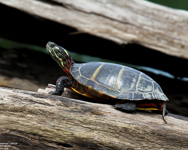 Penobscot painted turtle