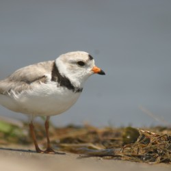 Maine urges care to protect piping plovers