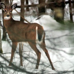 LePage, Woodcock unveil strategy to replenish deer herd
