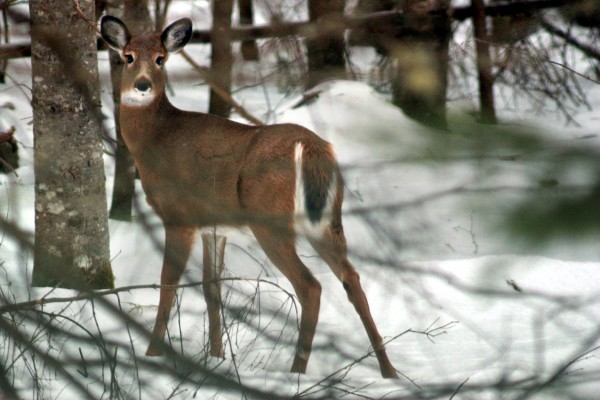 A deer in the Moosehead Lake area in February 2006.