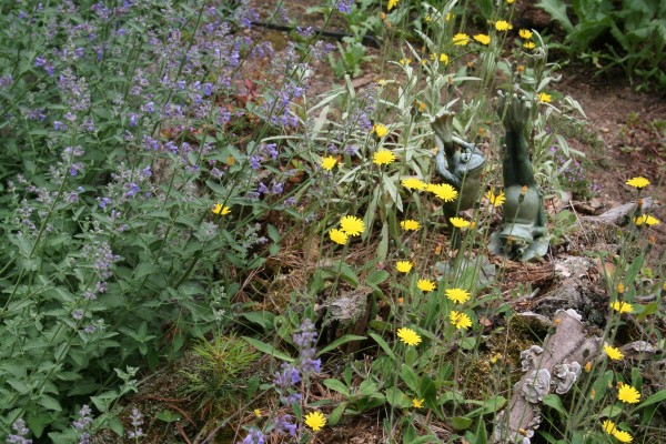 Yellow-flowered meadow hawkweed left to grow on an old stump next to the cat mint in Marjorie's Garden.