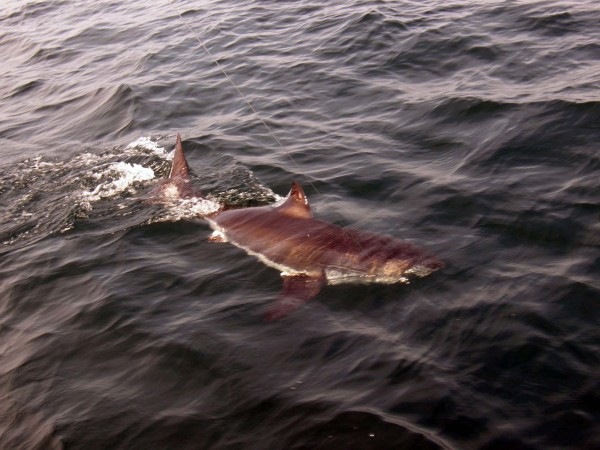 A six-to-seven foot immature white shark, weighing about 150 pounds, is tagged and released in the waters off Stellwagen Bank in Massachusetts.
