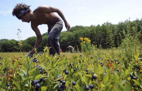 Andrue Leach rakes blueberries in a Rockport field for Spruce Mountain Blueberries in July 2010. A lack of rain could put this year's blueberry harvest well below average.