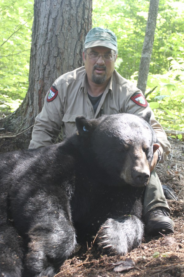 Maine Department of Inland Fisheries and Wildlife biologist Randy Cross poses with Tank, a 342-pound black bear, that was sedated and released unharmed as part of the state's ongoing research project on black bears.