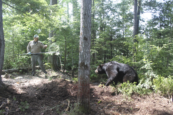 Wildlife biologist Randy Cross holds a syringe pole as Tank, a 342-pound black bear, begins a charge toward the Maine Department of Inland Fisheries and Wildlife biologist during the DIF&W's spring trapping season. Tank was successfully sedated and released unharmed as part of the state's ongoing research project on black bears.