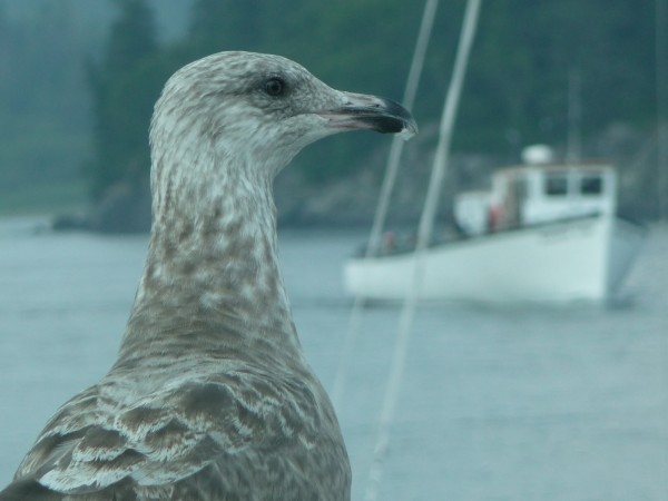 A herring gull greets the Quoddy Dam ferry as it arrives Friday afternoon at the Lubec dock. The ferry has been operating for a month and owner Steve Pagels said he is very happy with the ridership numbers.