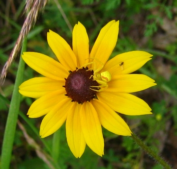 Goldenrod crab spider and black-eyed susan