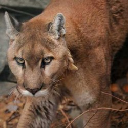 Conn. residents pounce on talk of loose cougar