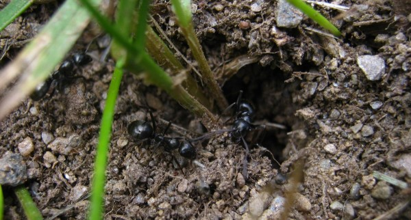 Black field ants busy at a doorway to their underground city in Troy.