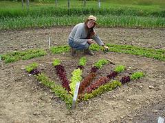 A rainbow of lettuce at Ocean Glimpse Farm