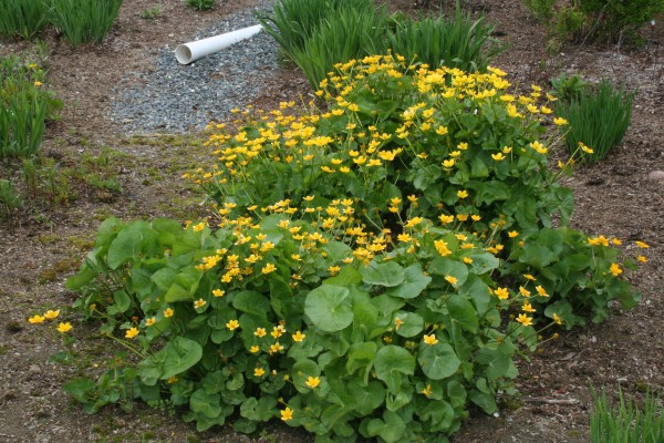 The rain garden mid-May, between spring rains, when marsh marigolds are in full bloom and clumps of slender blueflag iris are sending up their grassy leaves.