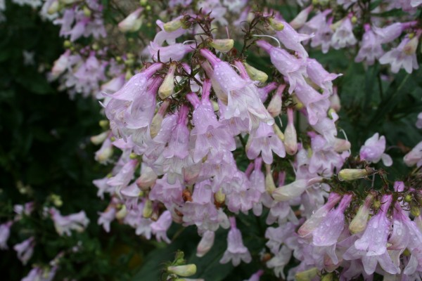Penstemon digitalis flowers, a great native perennial for attracting hummingbirds and bees.