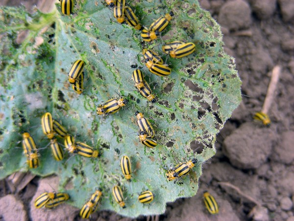 Striped cucumber beetles partying on a cucurbit leaf.