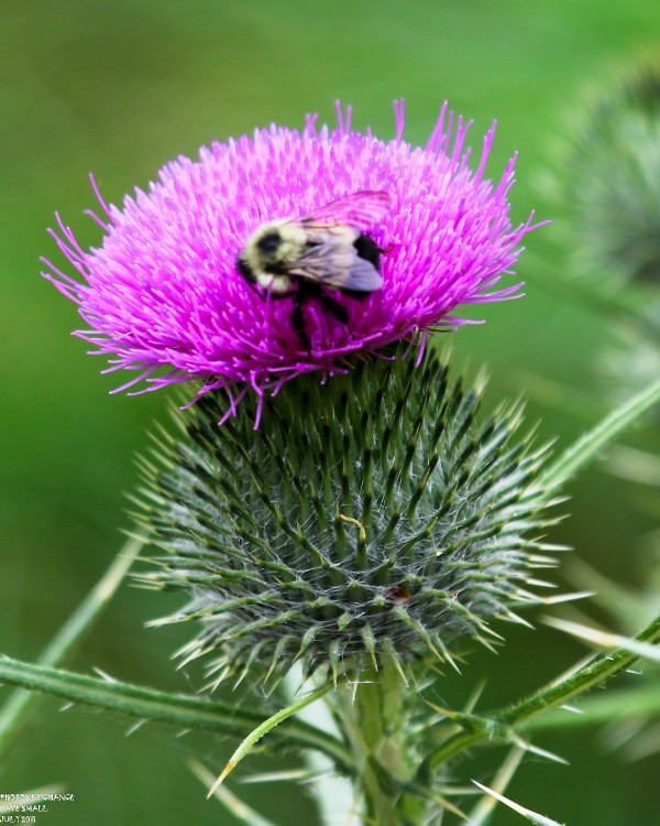 Bee in a bull thistle
