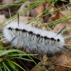 Forest Service warns of browntail moth infestation in Brunswick