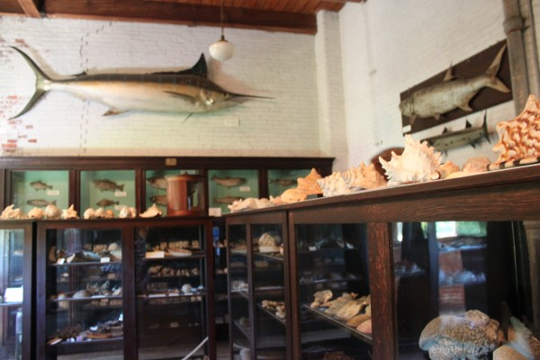 A blue marlin caught by Ernest Hemmingway hangs on display in a room full of shells and preserved fish at the L.C. Bates Museum in Hinckley on Wednesday, Aug. 17, 2011.