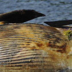 Dead whale moved from Acadia beach, necropsy planned