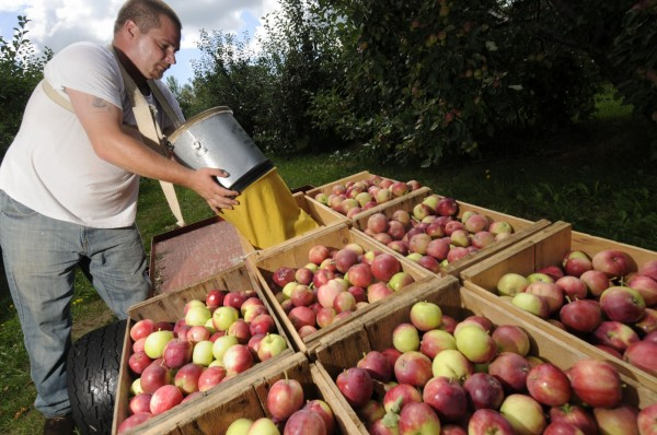 Lee West, left, of Detroit, a seasonal worker at Maine-ly Apples, was busy Friday picking and sorting apples such as these Jerseymacs off the outside branches of some of the 1650 apples trees at the 17-acre orchard in Dixmont. The Olsen family and their crew there are concerned that many of the orchard's apples could be susceptible to the winds that Hurricane Irene might bring on Sunday.