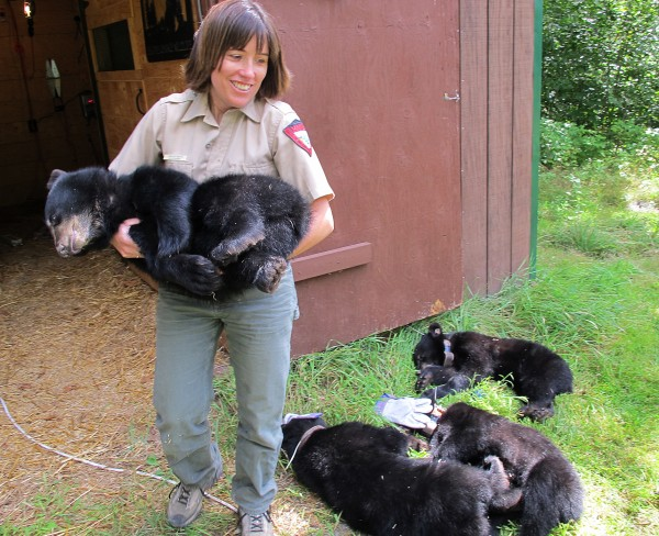 Jennifer Vashon, the top bear biologist with Maine's Department of Inland Fisheries and Wildlife, carries one of the six bear cub orphans who were then reintroduced into the wild following rehabilitation at Second Chance Wildlife, Inc., in New Sharon. The bears were sedated, fitted with radio collars, weighed and measured before being released in the North Maine Woods.