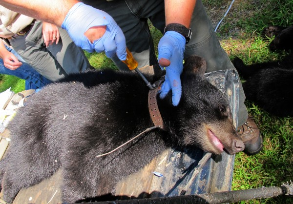 A sedated bear cub is fitted with a radio collar before in anticipation of being reintroduced into the wild.