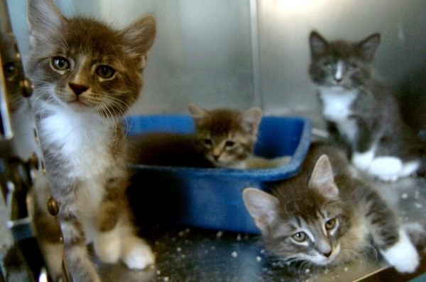 "A litter of 8-week-old kittens are among more than 250 cats currently in the care of the Bangor Humane Society. Earlier in the week, more than 50 felines were surrended to the shelter. In order to encourage adoption, the Humane Society is offering a ""name-your-price adoption fee"" for cats older than 6 months."