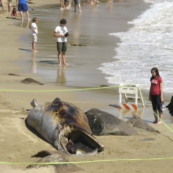 Park officials cordon off dead whale at beach