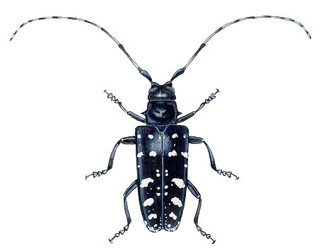 Asian Longhorned Beetle (female)