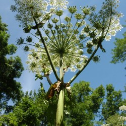 Giant hogweed infestation in Bangor could spread to Kenduskeag Stream, expert says