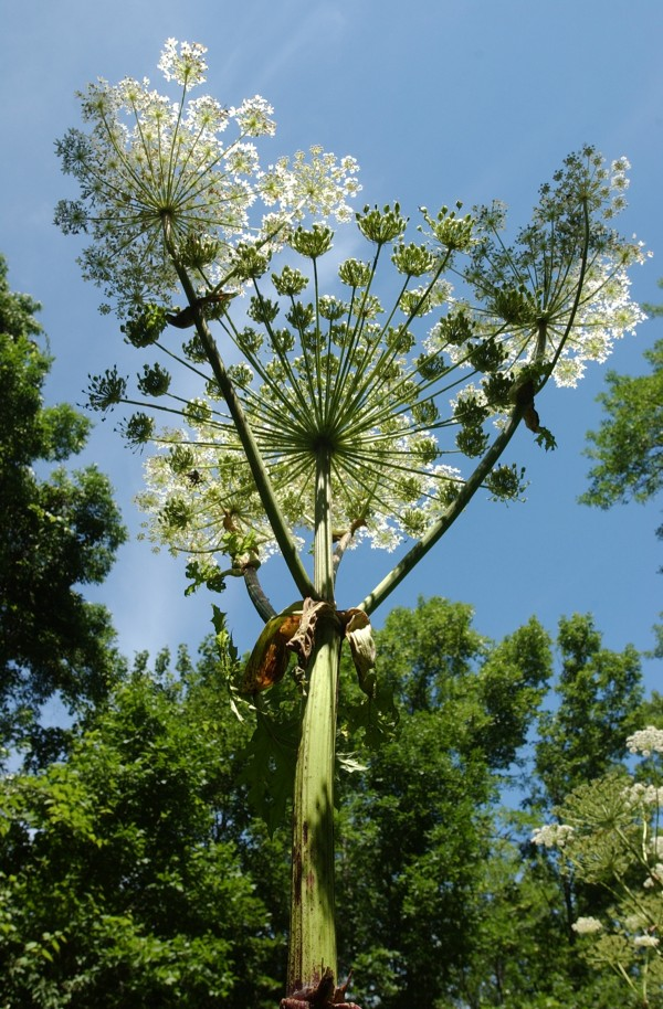 A 10-foot tall giant hogweed plant located along the Compass Harbor trail in Bar Harbor shoots toward the sky in August 2002. The noxious plant can grow to 15 feet high and contact with its can lead to itching, swelling, redness and large painful blisters.